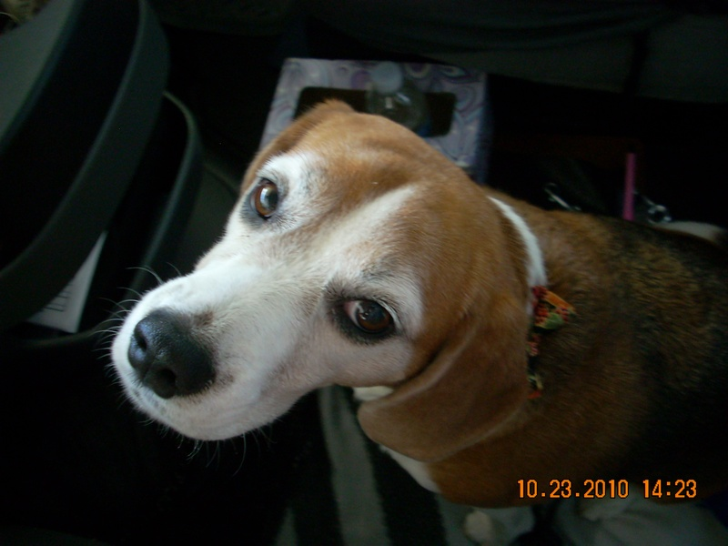 Josie.....my favorite Beagle